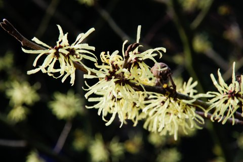 Hamamelis 'Angelly'