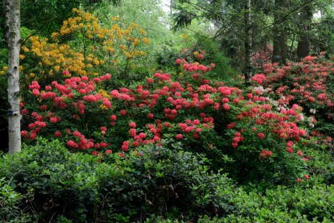 Rhododendron groepen