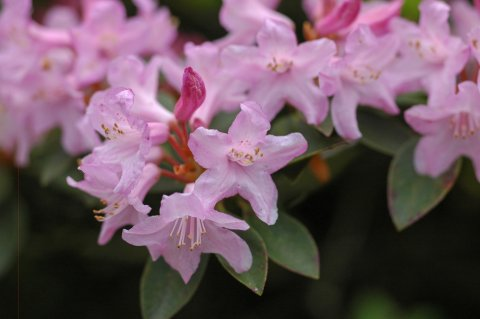 Rhododendron 'Pink Drift'