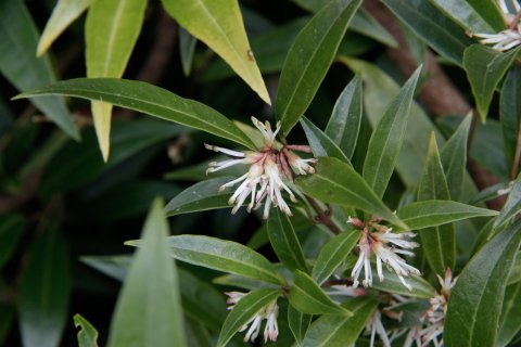 Sarcococca confusa - Vleesbes